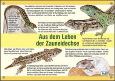 nabit_bildtafel_zauneidechse